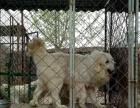 家养大白熊精品幼犬