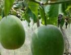 为什么选择藤中仙罗汉果,无公害绿色种植,公司+农户