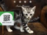 烟台哪里有卖虎斑猫 烟台出售虎斑猫 烟台虎斑猫买卖