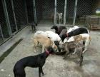 长沙推荐纯种会活的猎犬及猎兔犬价格及驯养技术本场招加盟商