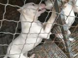 杜高犬养殖场出售杜高幼犬