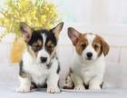 上门700 精品柯基犬 协议有保障 公母多只可选