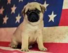 可爱巴哥犬 保纯种 三针疫苗齐全 健康血统有保障