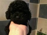 家养一窝纯种泰迪犬可以签协议 来家里看狗父母