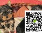约克夏大概多少钱 约克夏幼犬多少钱一只 约克夏图片