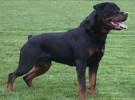 本场出售罗威纳犬 罗威纳幼犬 品质好 质量保证