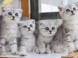 偶然的一次繁殖與貓咪結緣致力為客戶帶來品質健康貓咪