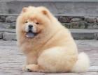 纯种大头肉嘴松狮犬 正版纯种松狮 超可爱 包健康