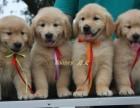 品质血统纯正的金毛犬低价出售 狗贩子勿扰