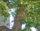 50年以上杜仲树两课,一雌一雄