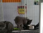 3个月蓝猫一窝疫苗全