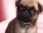 狗场直销巴哥 各种世界名犬 包养活包健康