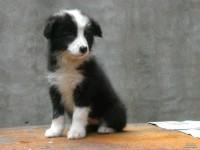 武汉出售纯种边境牧羊犬幼犬活体宠物狗狗边牧犬七