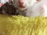 红虎斑加菲猫宝宝-公母都有价格合理多只挑选