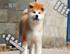 家养纯种秋田犬便宜出售了 喜欢的可以加我详聊