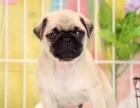 出售活泼可爱巴哥犬 疫苗驱虫做好品质有保证