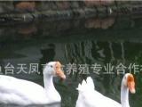 厂家专业养殖鹅苗 大鹅苗 生长快 天然生态 适应能力强