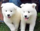 优良血统 纯种萨摩耶犬 健康 活泼 已疫苗驱虫