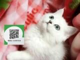 绵阳在哪里卖健康纯种宠物猫 绵阳哪里出售虎斑猫