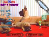 纯种健康的大丹犬多少钱一只在哪能买到