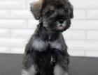 狗场直销各类世界名犬 健康质保 可上店看犬 可视频