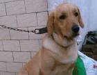家养拉布拉多幼犬出售
