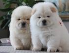 纯种松狮犬幼犬出售,肥嘟嘟紫舌头面包嘴 售后签协议