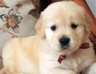 可爱金毛幼犬 保纯种 三针疫苗齐全 健康血统有保障