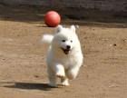 白沙哪里有萨摩耶幼犬哪里有得卖 多少钱
