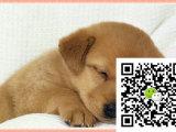 在哪里买纯种的腊肠幼犬 腊肠幼犬最低多少钱