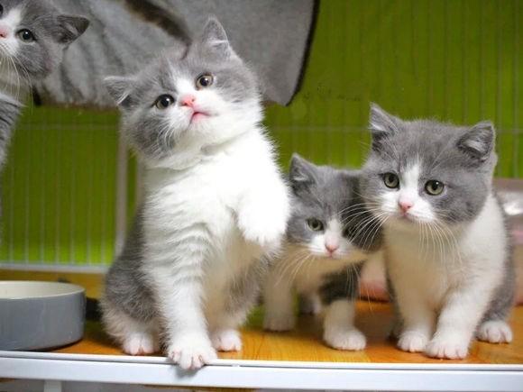 重庆哪里有英短猫卖 专业繁殖 公母均有 包纯种包健康