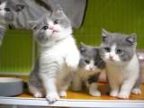 昆明哪里有英短猫卖 专业繁殖 公母均有 包纯种包健康