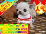 超精品吉娃娃犬疯狂热卖中 特价质保三年 签订活体协议