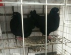 大庆出售自家养的观赏鸽肉鸽元宝鸽