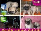 成都纯种巴哥幼犬出售 品相端正 签协议 保健康