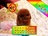 常年出售纯种健康精品泰迪熊犬专业缔造完美品质签协议