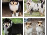 自己家养的双血统苏格兰牧羊犬犬 颜值高 忍痛出售