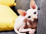 德文卷毛猫宠物猫幼崽活物证书加拿大无毛猫不掉毛