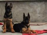 德国牧羊犬养殖场 牧羊犬最新价格