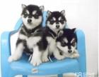 强力推荐纯种阿拉斯加幼犬 超帅气 超大形体纯种健康