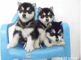 强力 纯种阿拉斯加幼犬 超帅气 超大形体纯种健康