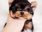 约克夏犬纯种家养繁殖约克夏出售精品家养活体宠物狗
