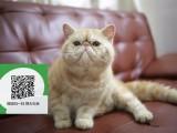 深圳哪里有加菲猫出售 深圳加菲猫价格 加菲猫多少钱