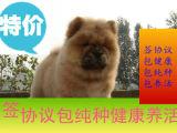 憨厚肉嘴松狮幼犬出售 公母均有疫苗驱虫已做纯种