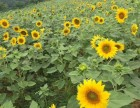 成都天府新区向日葵花海免费开放,赏花拍照,美呆了!