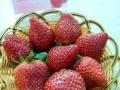 秦皇岛市抚宁县榆关镇河西村草莓采摘。园