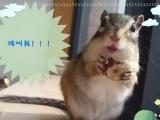 萌萌哒的金花魔王黄山幼崽松鼠