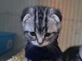折耳,立耳都有,有轻微猫藓,便宜出售