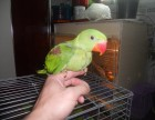 手养的亚历山大鹦鹉 金刚鹦鹉 灰鹦鹉 等等会说话的幼鸟