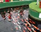 宣城博艺华金鱼养殖场常年出售金鱼锦鲤 - 1元 - 1元